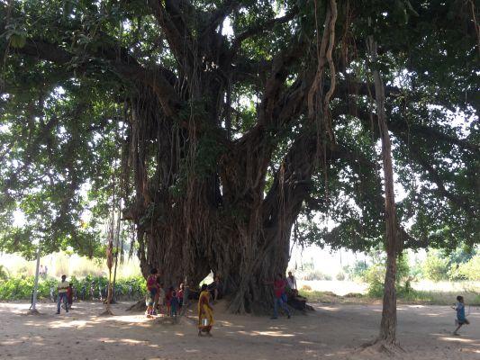 Un banian à Bodhgaya